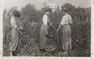 Three students gather tomatoes from the war garden, 1918