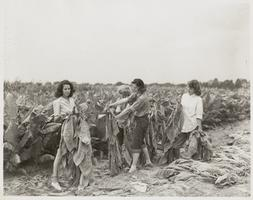 Farmerettes gathering and hanging tobacco (?) for drying