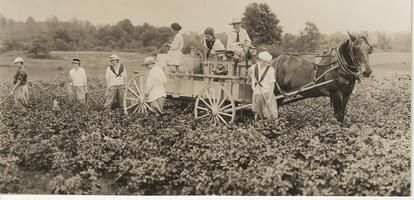 Students working in war garden spraying potatoes, 1917