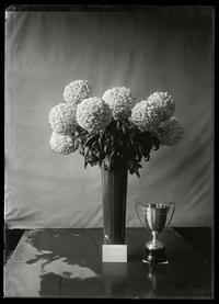 Skinner Cup Chrysanthemums 1925: First time winning cup